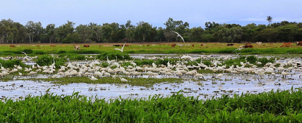 Spoonbills and Egrets